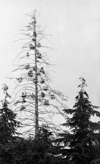 1925ish LGN 488 - Heron Tree
