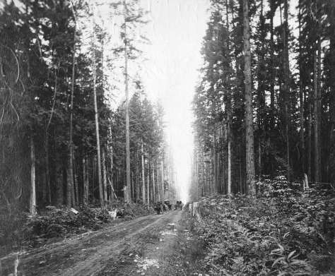 CVA - Str P16 - [Horse-drawn wagons on North Arm Road (Granville Street) through the forest (near 37th Avenue)] 1895