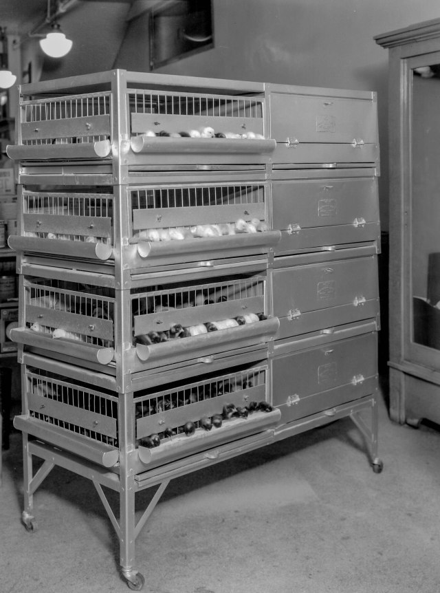 CVA 99-4720 - [Brooding cages in] Woodward's store basement 1935 Stuart Thomson photo.